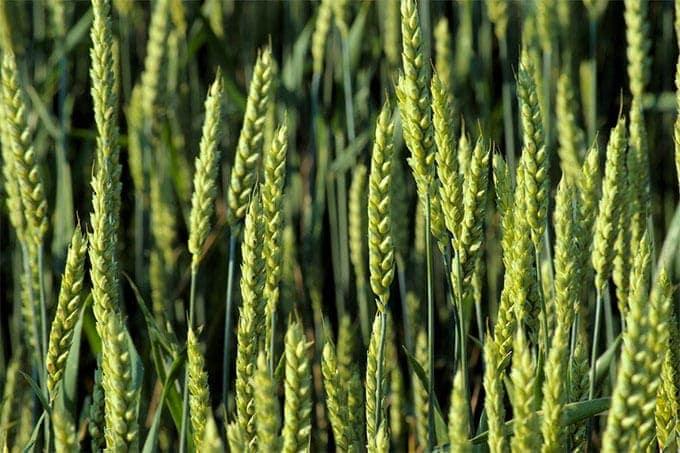spelt-is-wheat