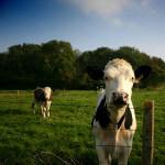 posing cows
