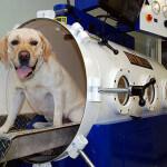 Hyperbaric Oxygen Therapty Chamber Dog